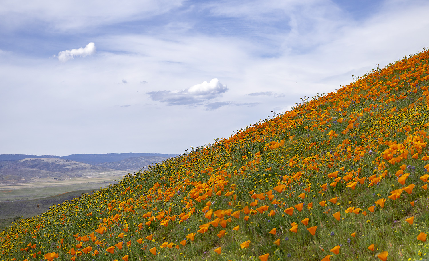 Hill of Blooming California Poppies