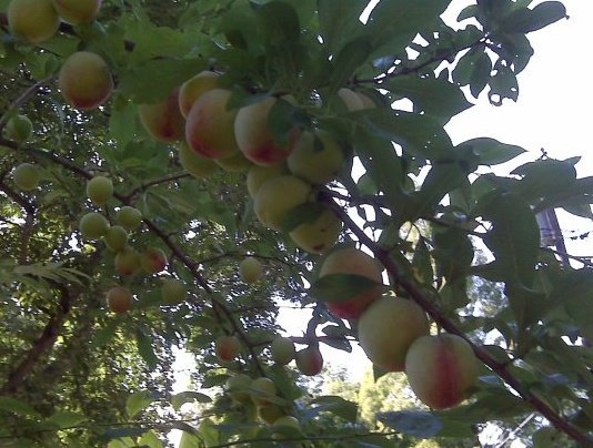 plum tree.jpg