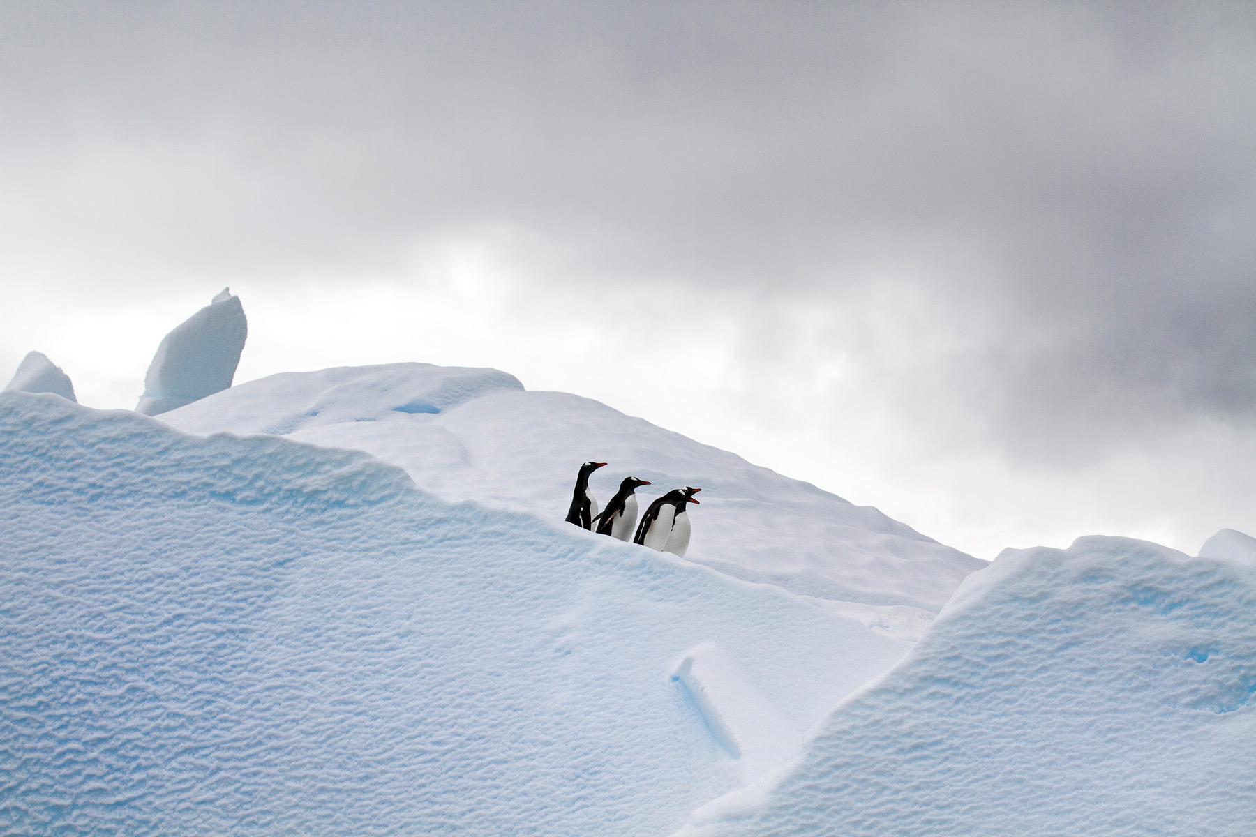 Gentoo penguins on an iceberg in Wilhemina Bay, Antarctica