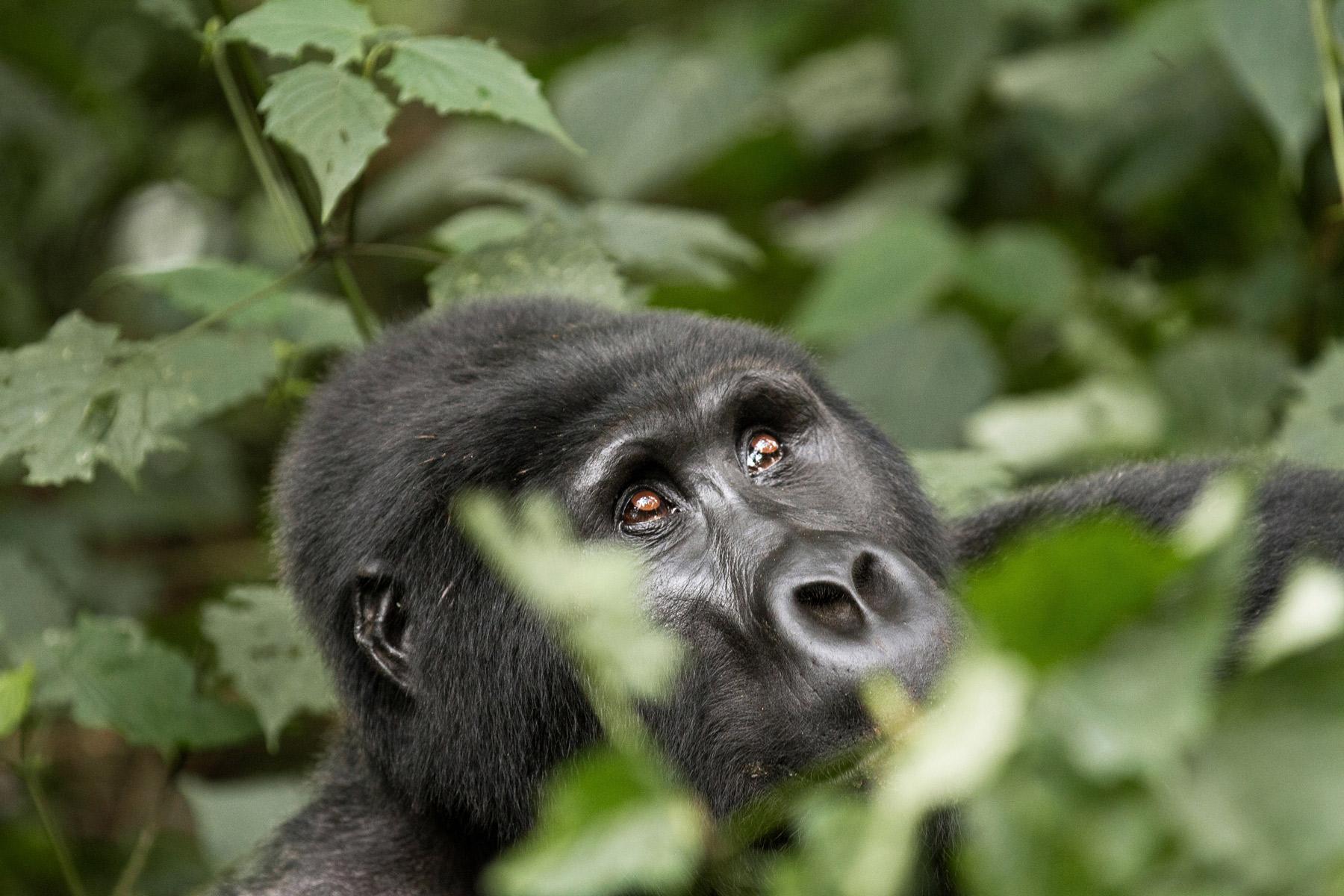 A gorilla looking upwards