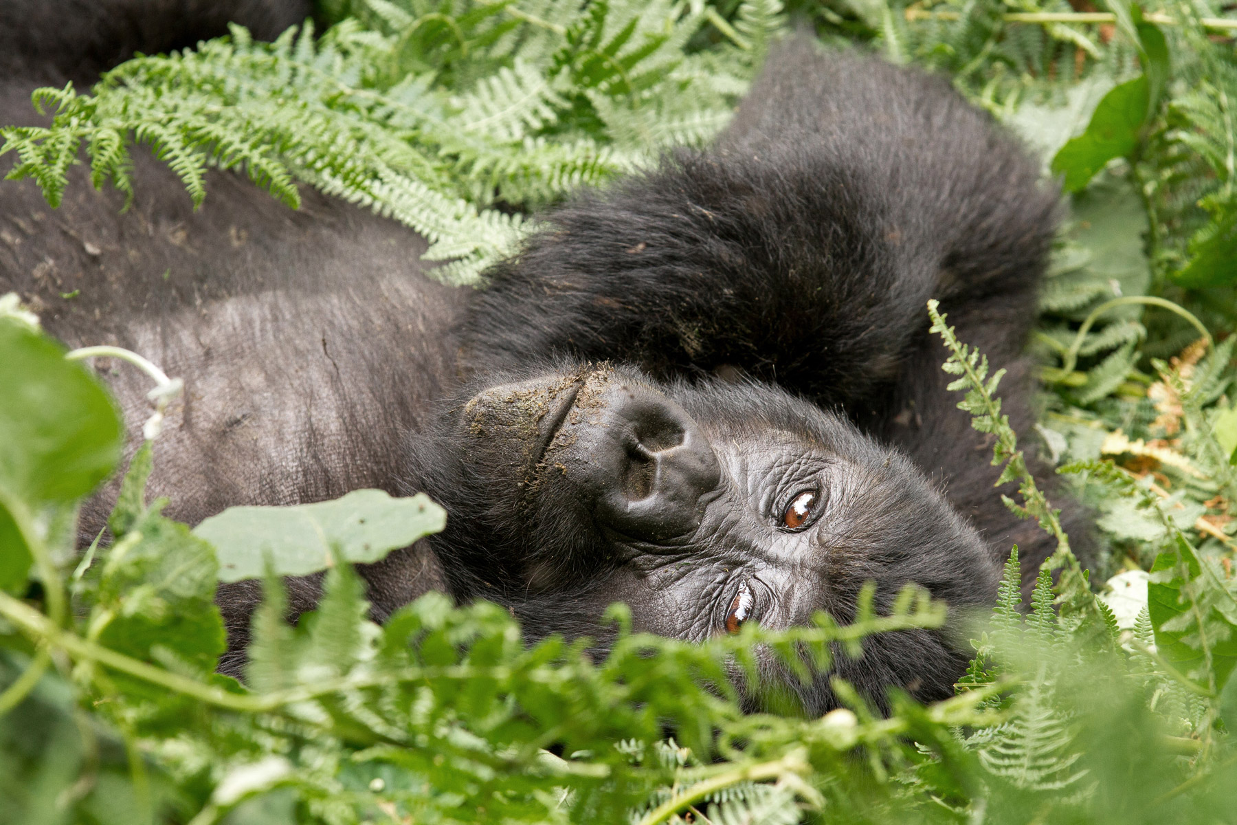 A young gorilla laying on the ground