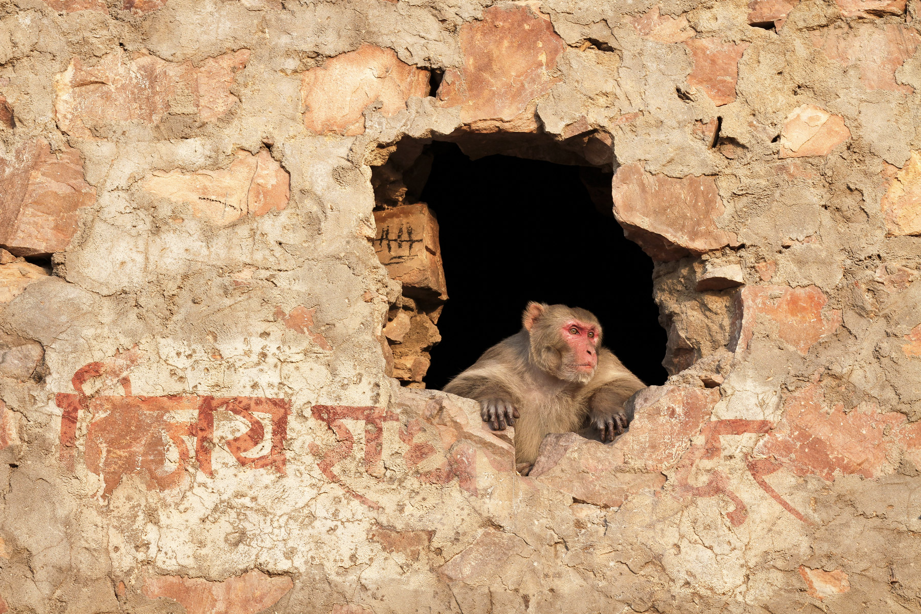 A rhesus macaque looking out from a hole in a wall