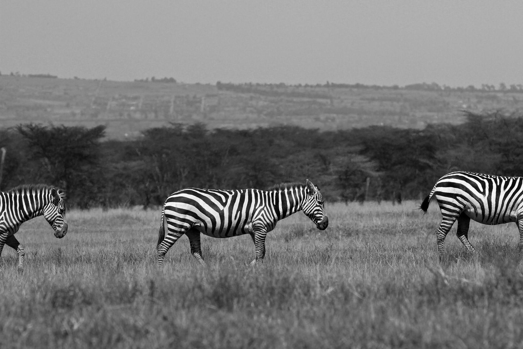 Zebra walking in line in Lake Nakura National Park, Kenya