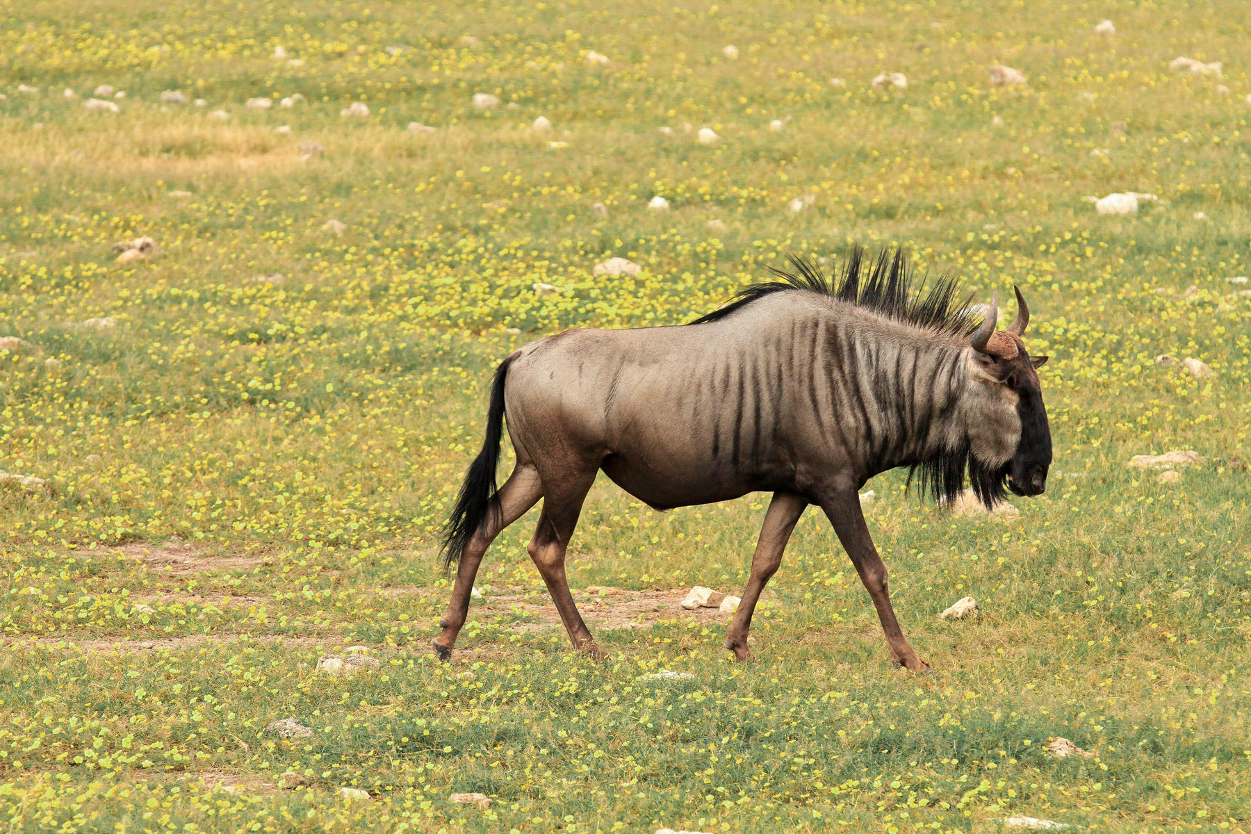 A wildebeest in the Chobe National Park in Botswana