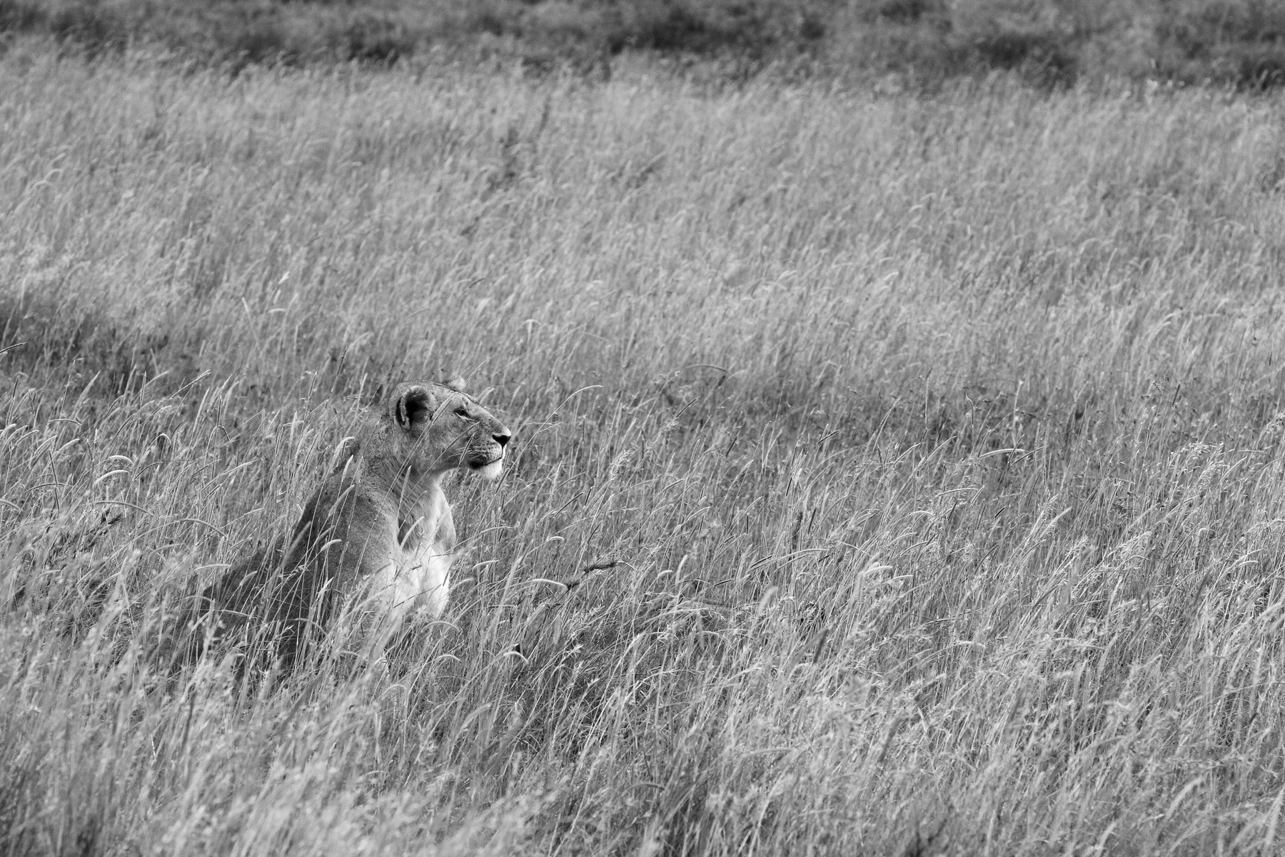 A lioness sitting in tall grass in Serengeti National Park, Tanzania