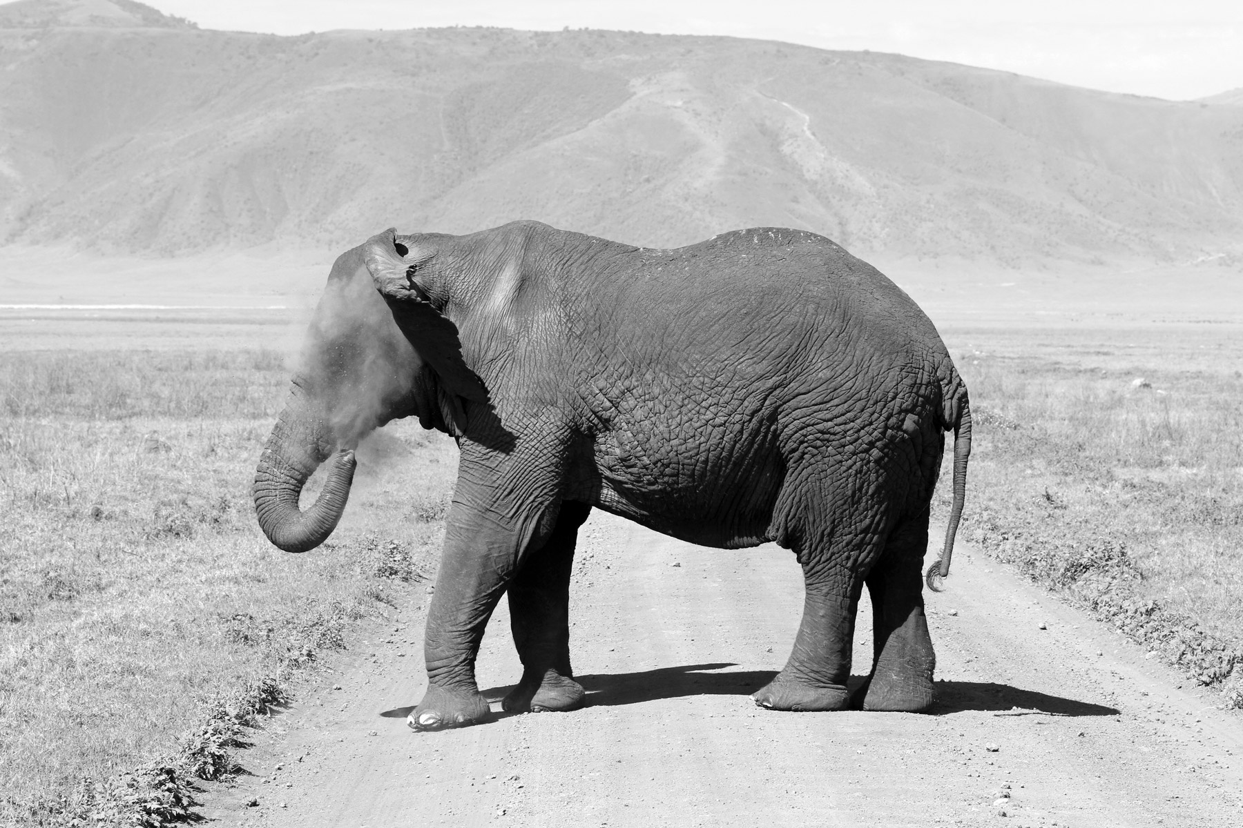 An elephant blowing dirt in its face in the Ngorongoro Crater, Tanzania