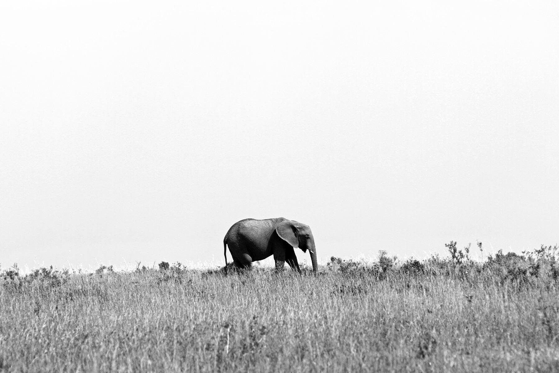 An African Elephant walking in the Maasai Mara National Park, Kenya