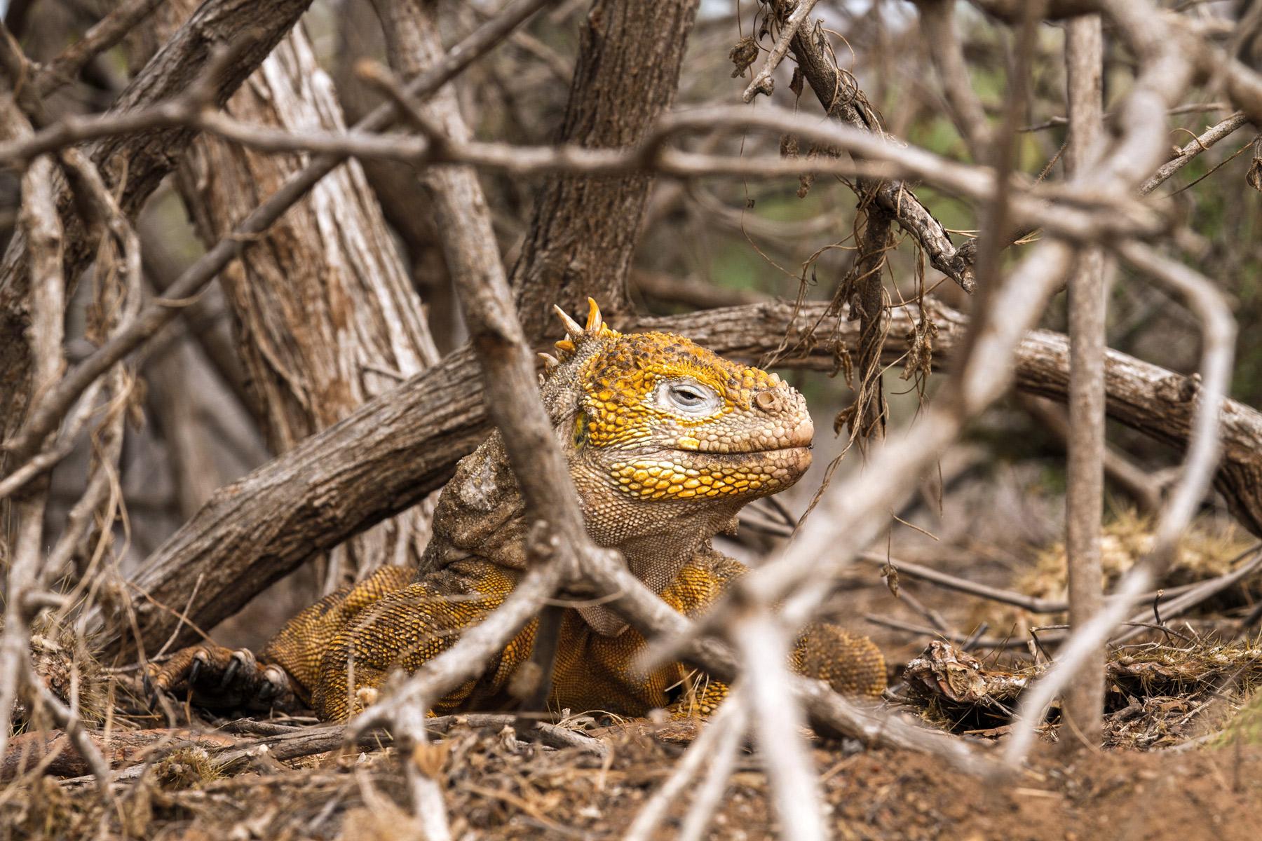 A land iguana at Cerro Dragon, Galapagos Islands