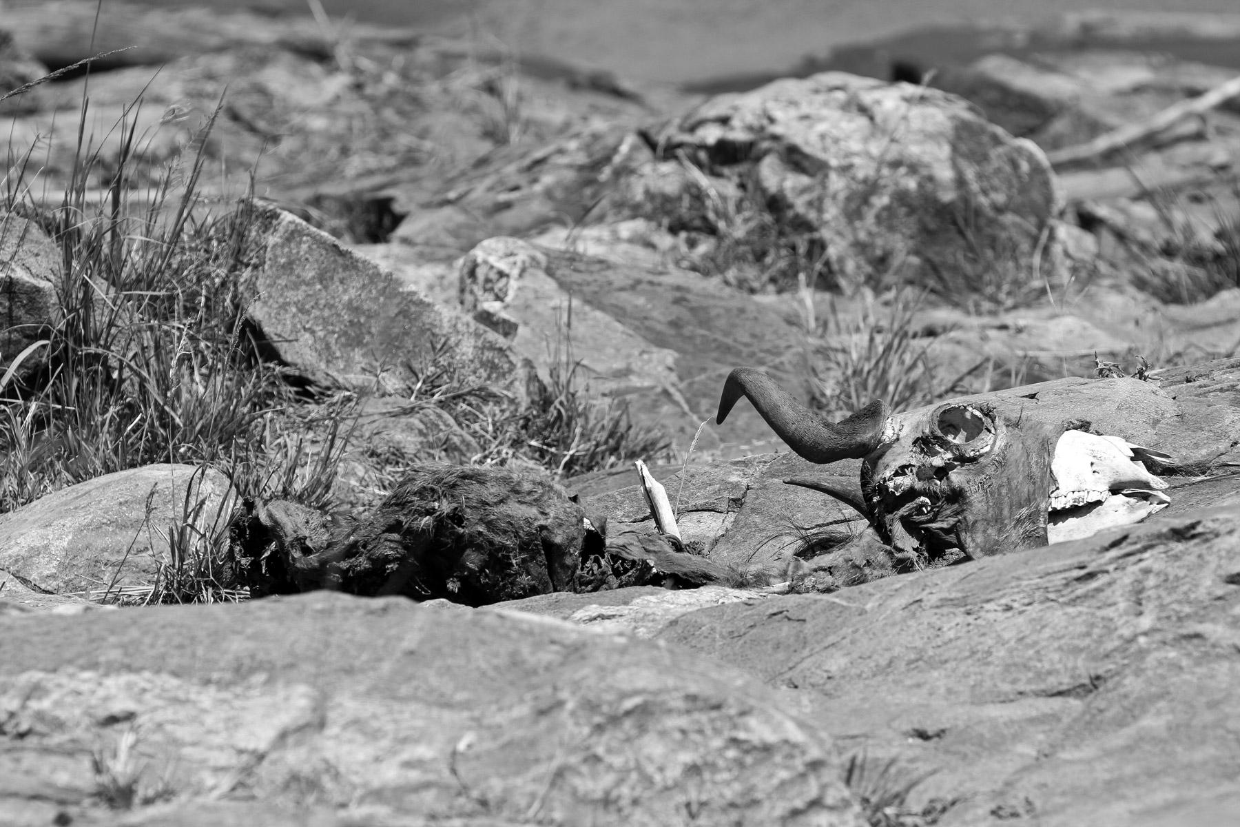 A wildebeest carcass in the Maasai Mara National Park, Kenya