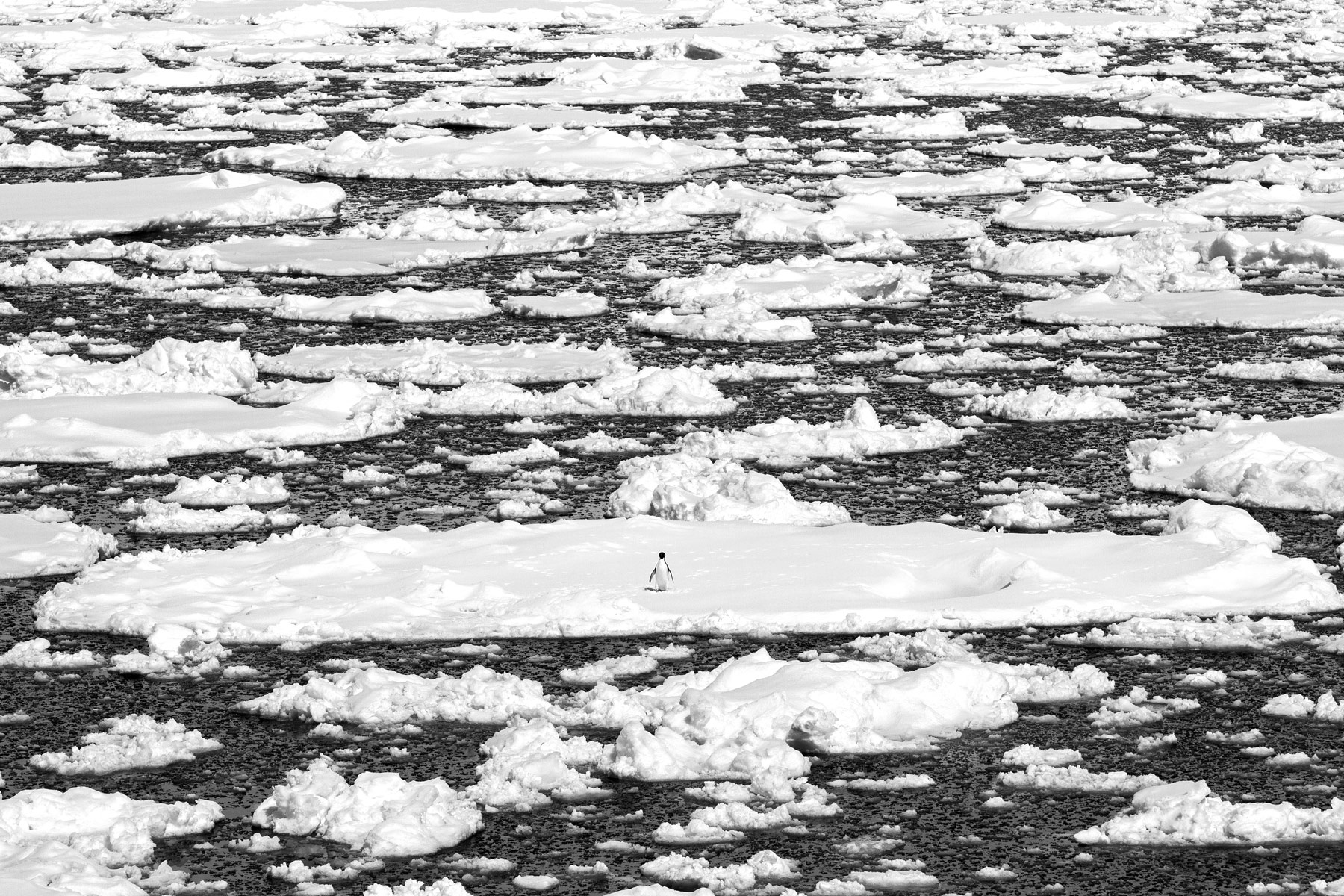 A lone penguin resting on sea ice in the Gerlache Strait, Antarctica