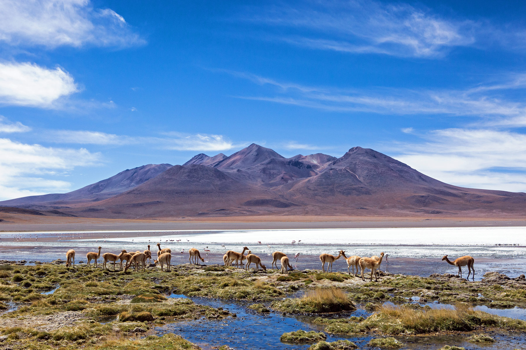 Vicuna at Laguna Canape in Bolivia