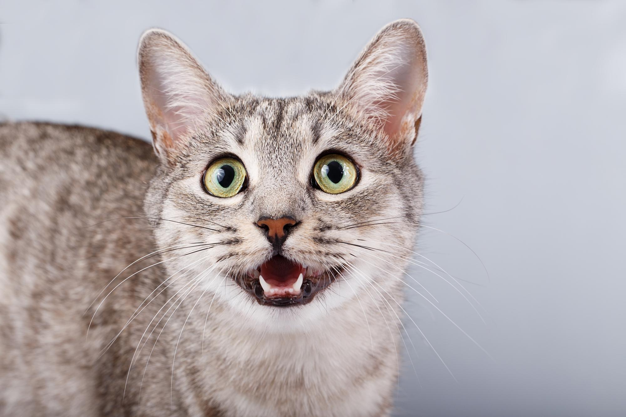 Feline Dentistry — The Cat Hospital of Maine