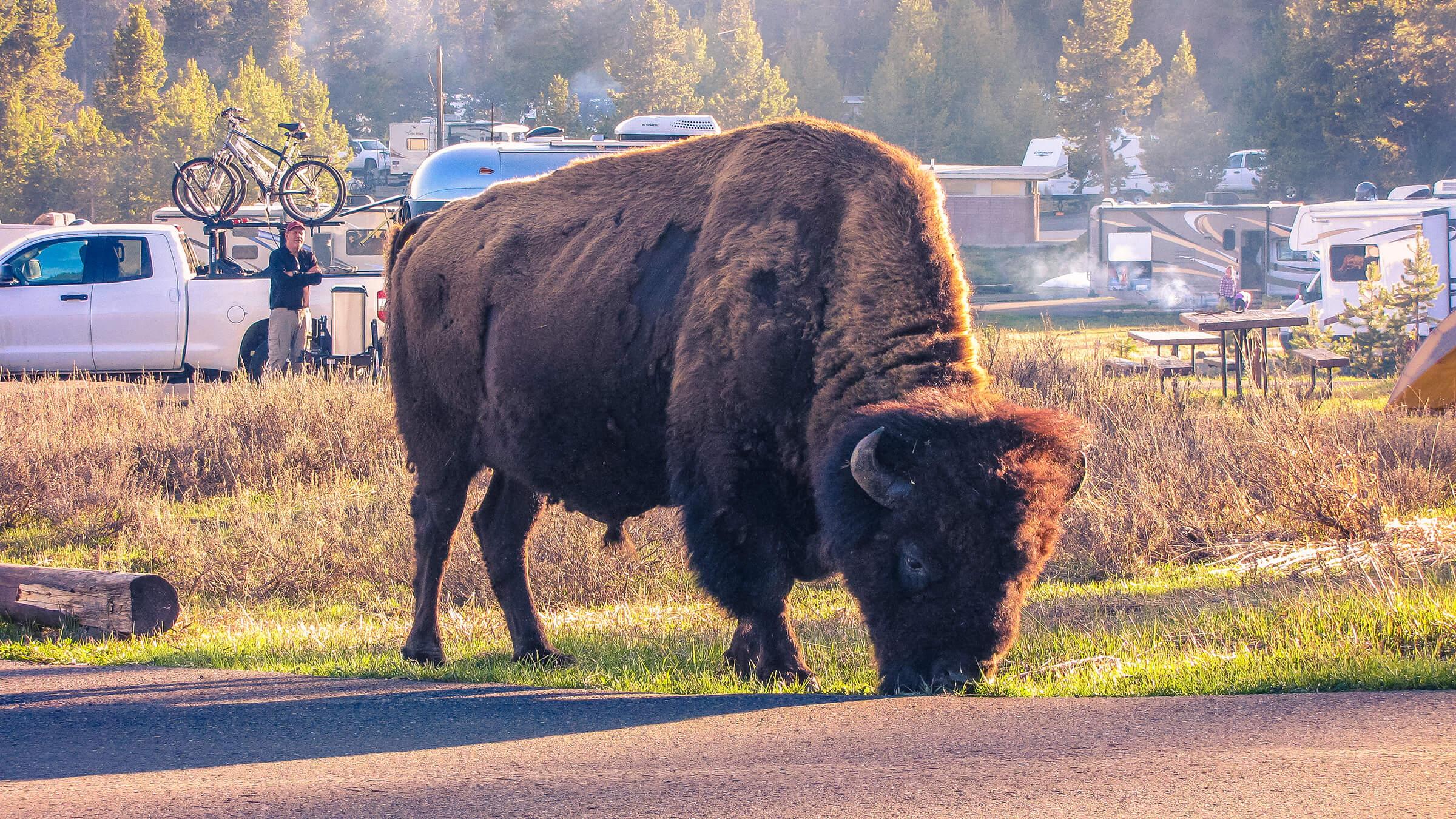 Grazing Bison at Bridge Bay Campground