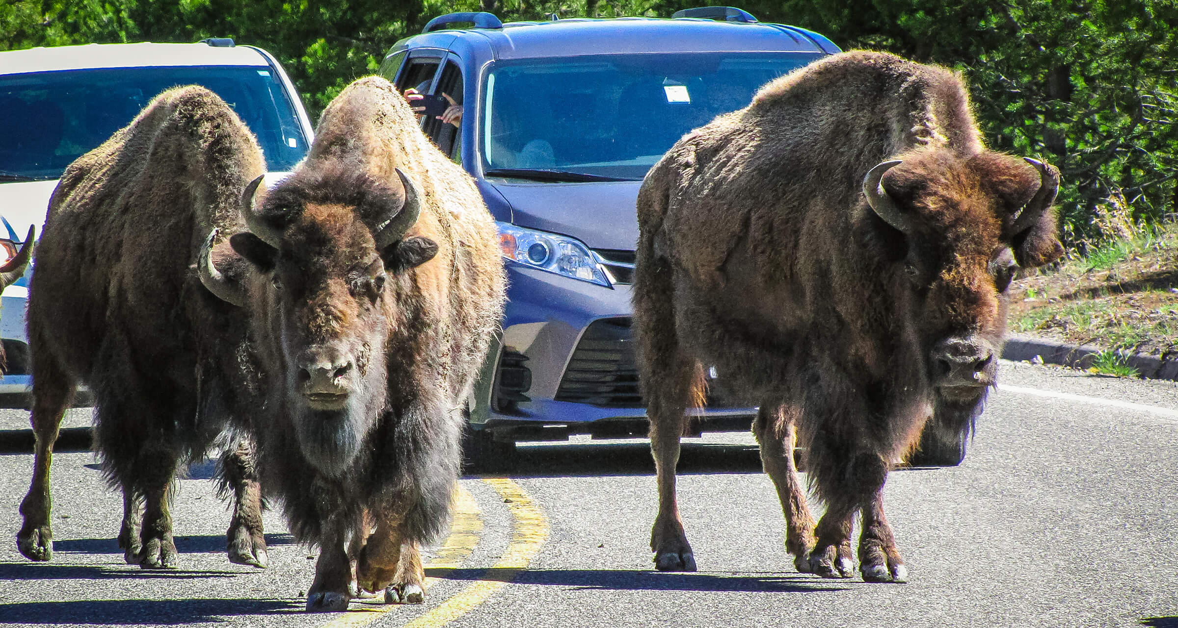 Bison mingle with Grand Loop traffic