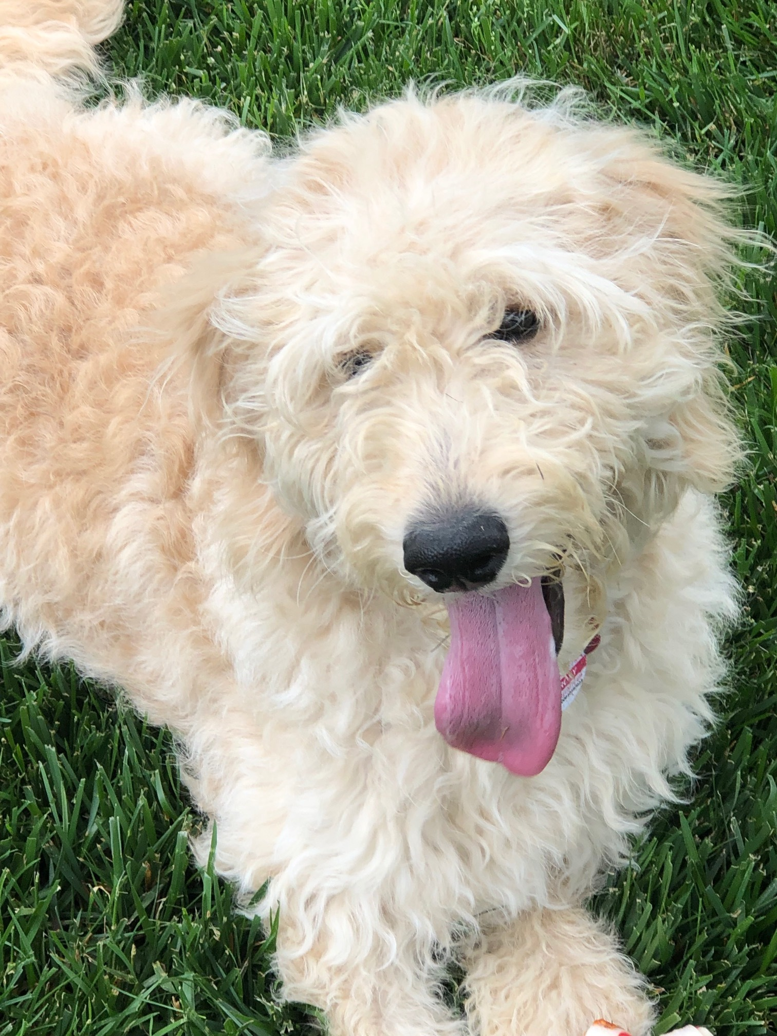 Latchkey Lassie - Roxy the Doodle dog.jpeg