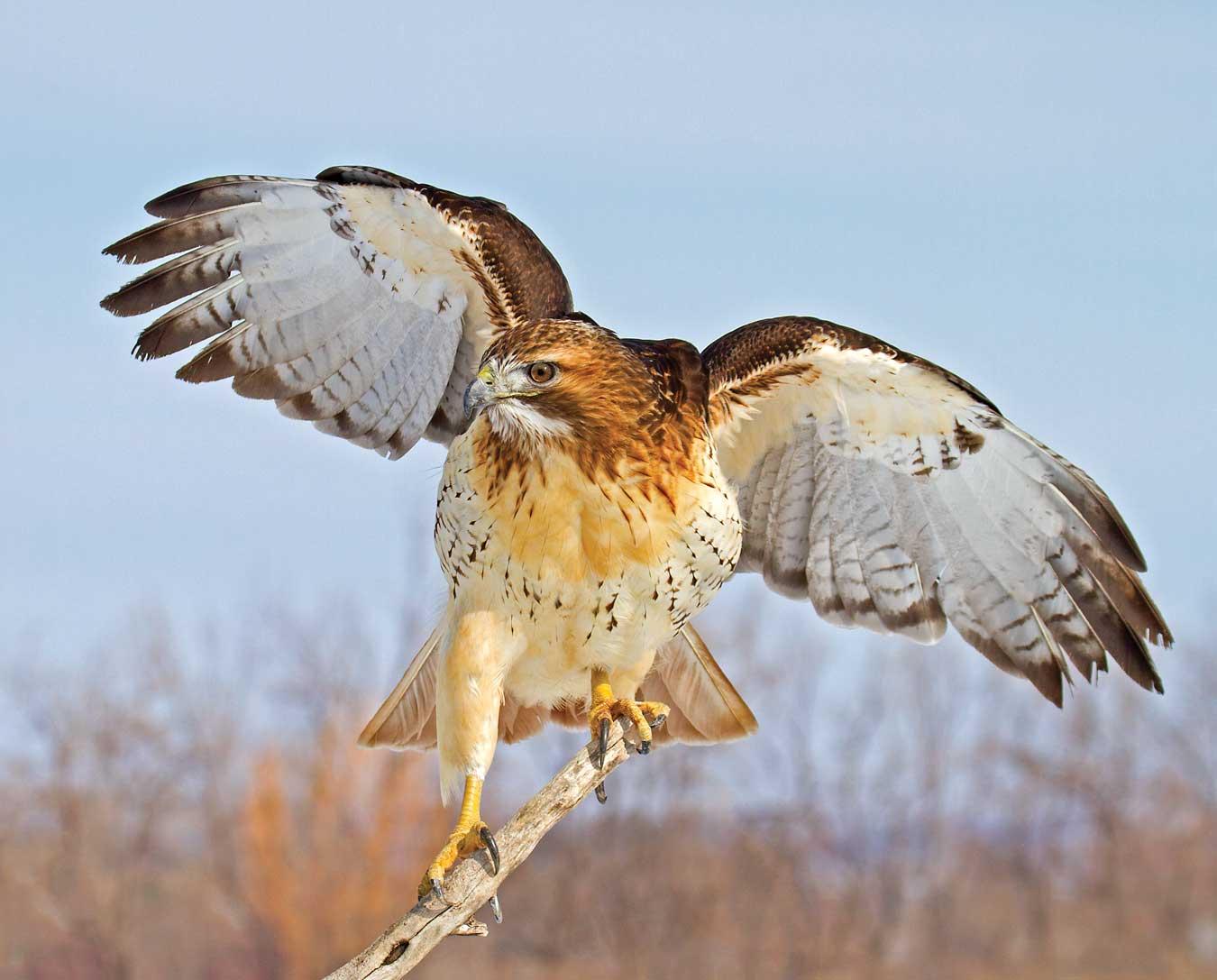 Perched Red Tail Hawk.jpg