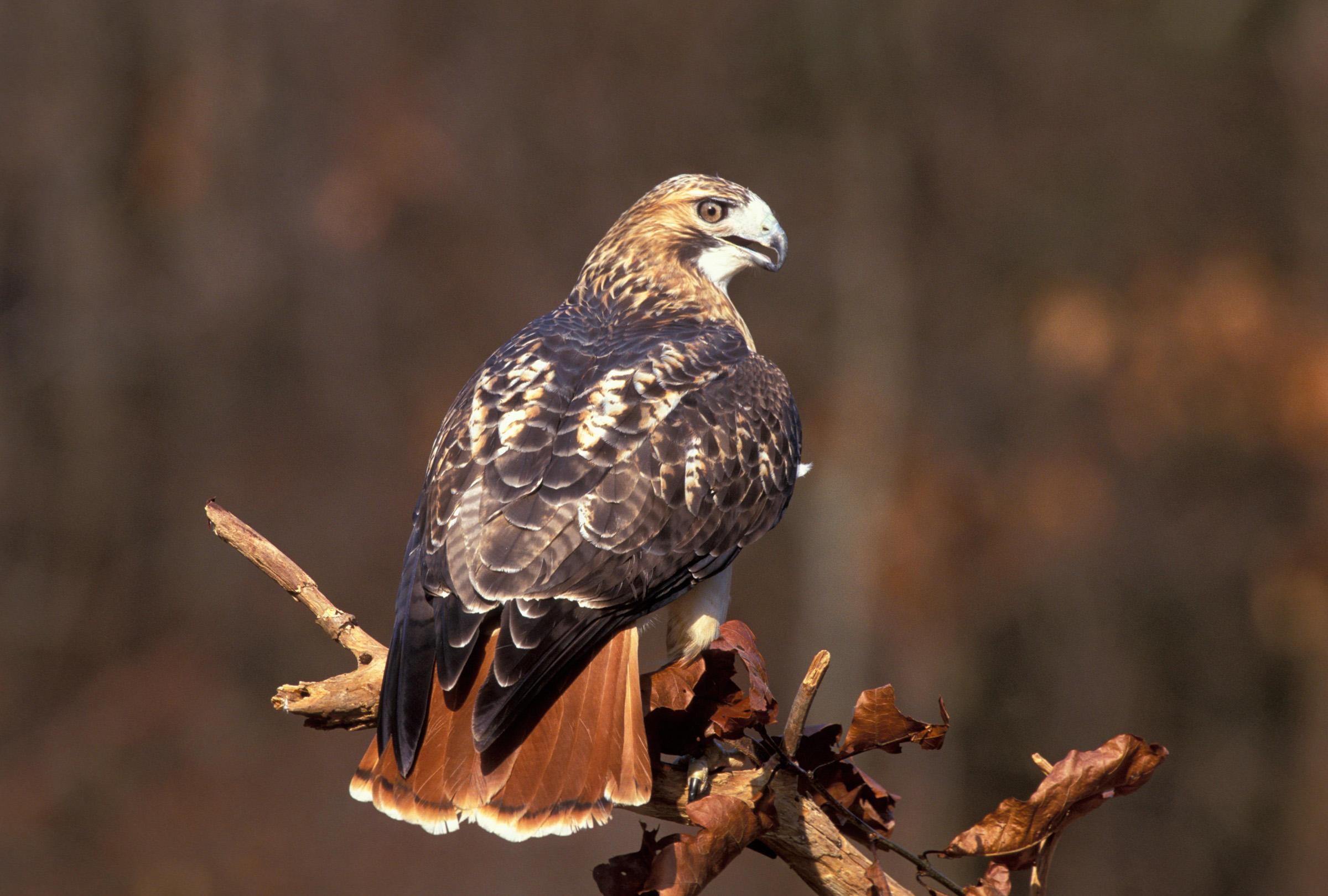 Red-tailed Hawk v11-13-016_V.jpg
