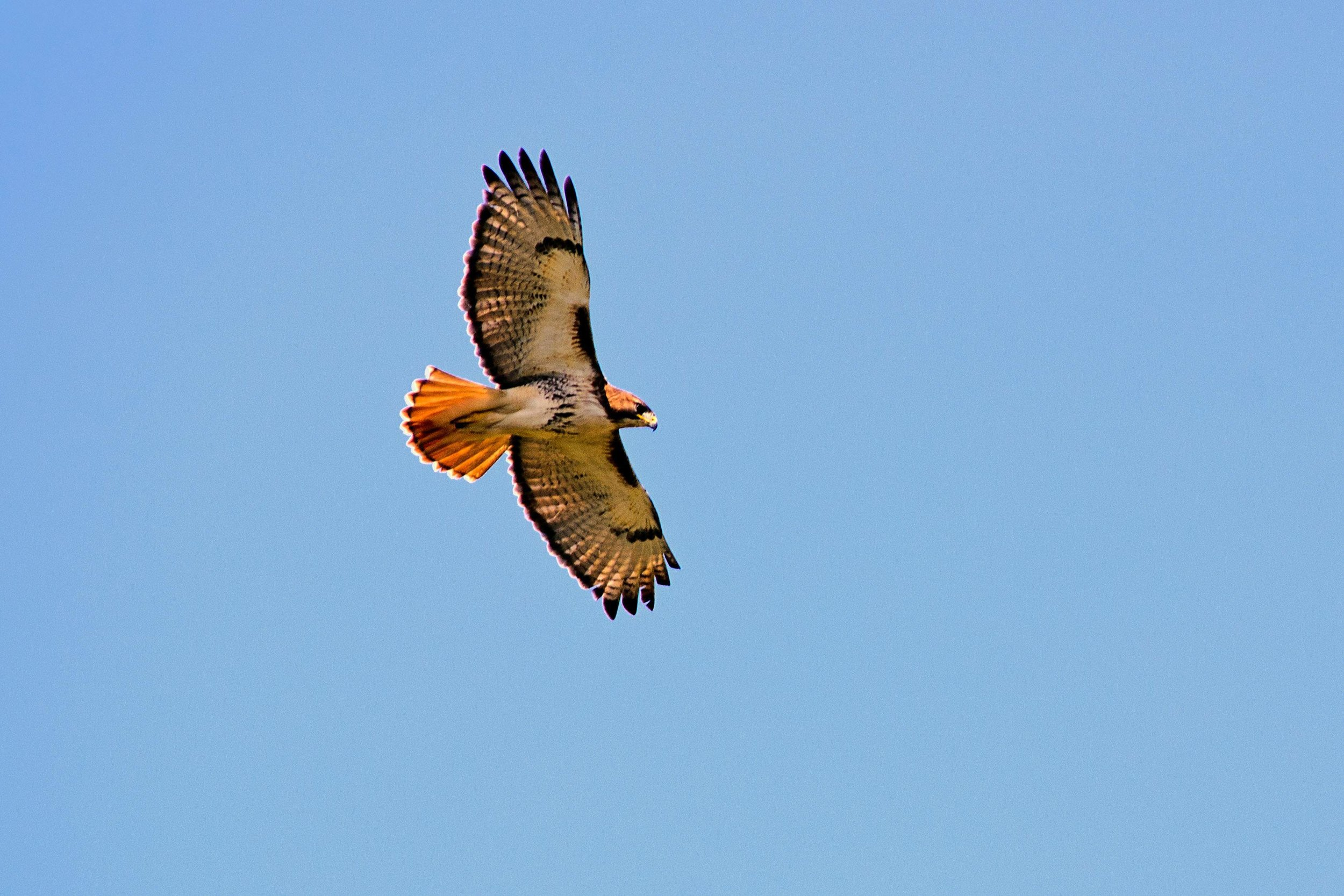 Red-tailed-hawk-1.jpg