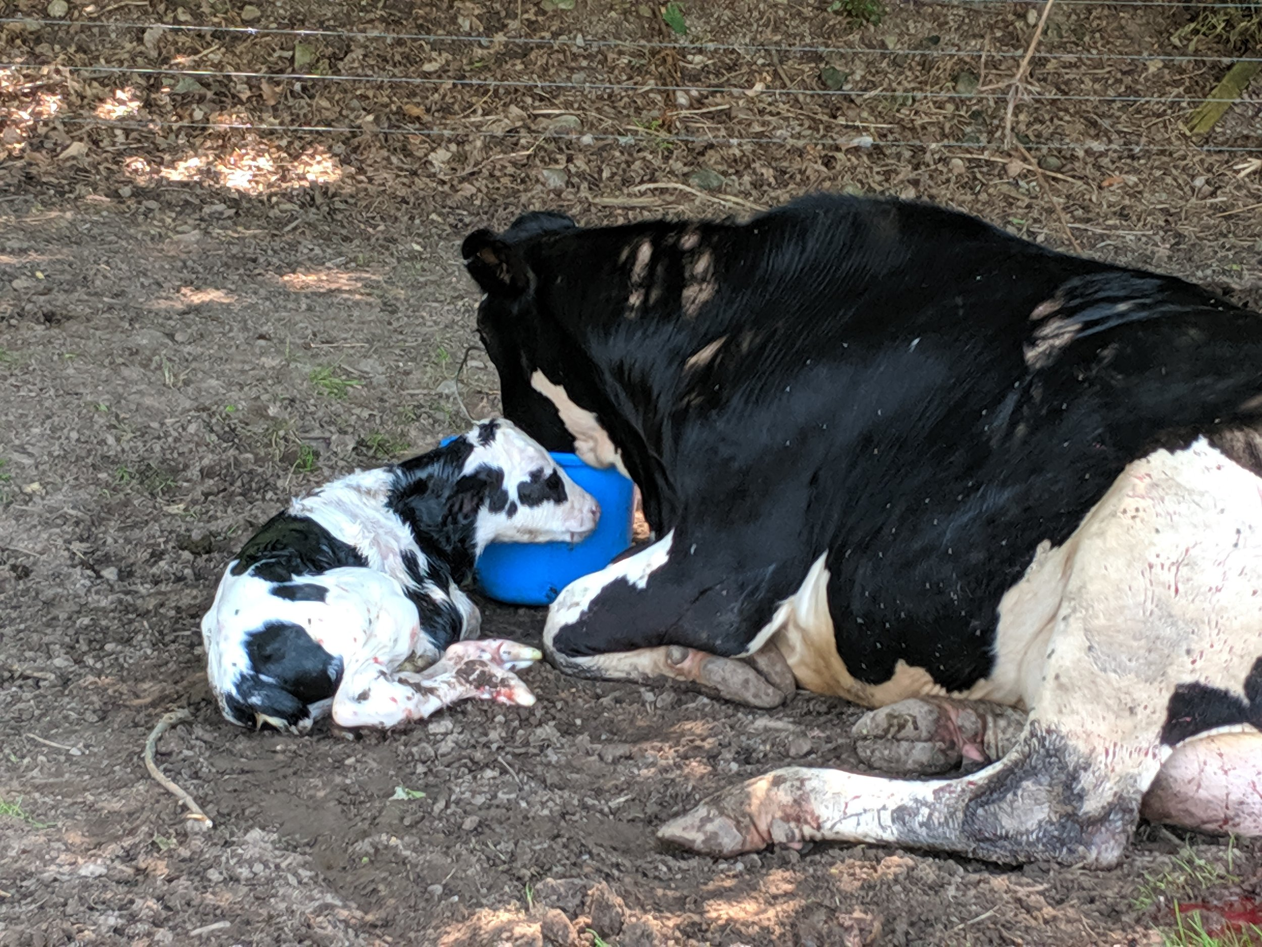 Once the calf was born and mama took a break from cleaning her up, she is given a few buckets of water that is filled with vitamins for her after the birth.