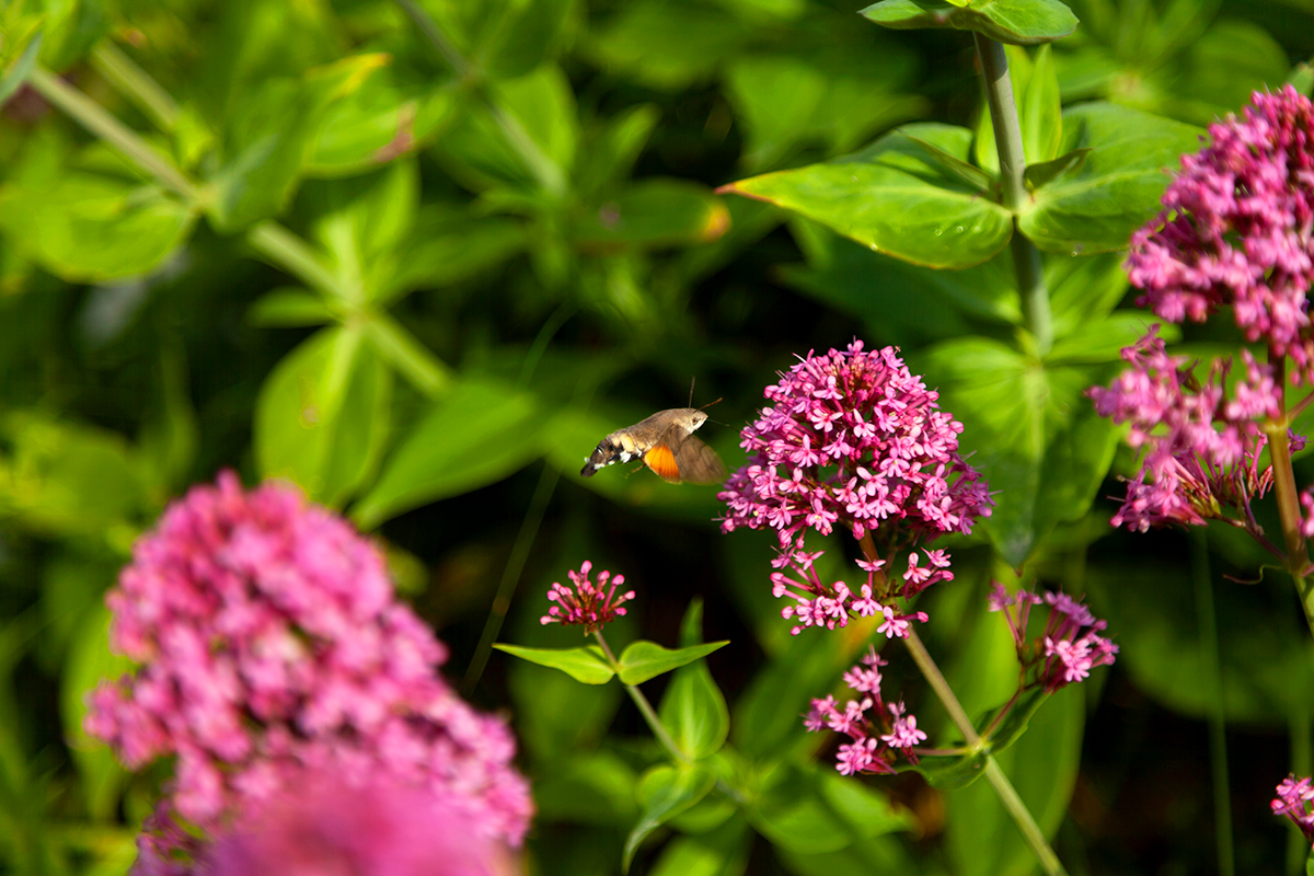 Hummingbird hawk moth on Cape Clear island.