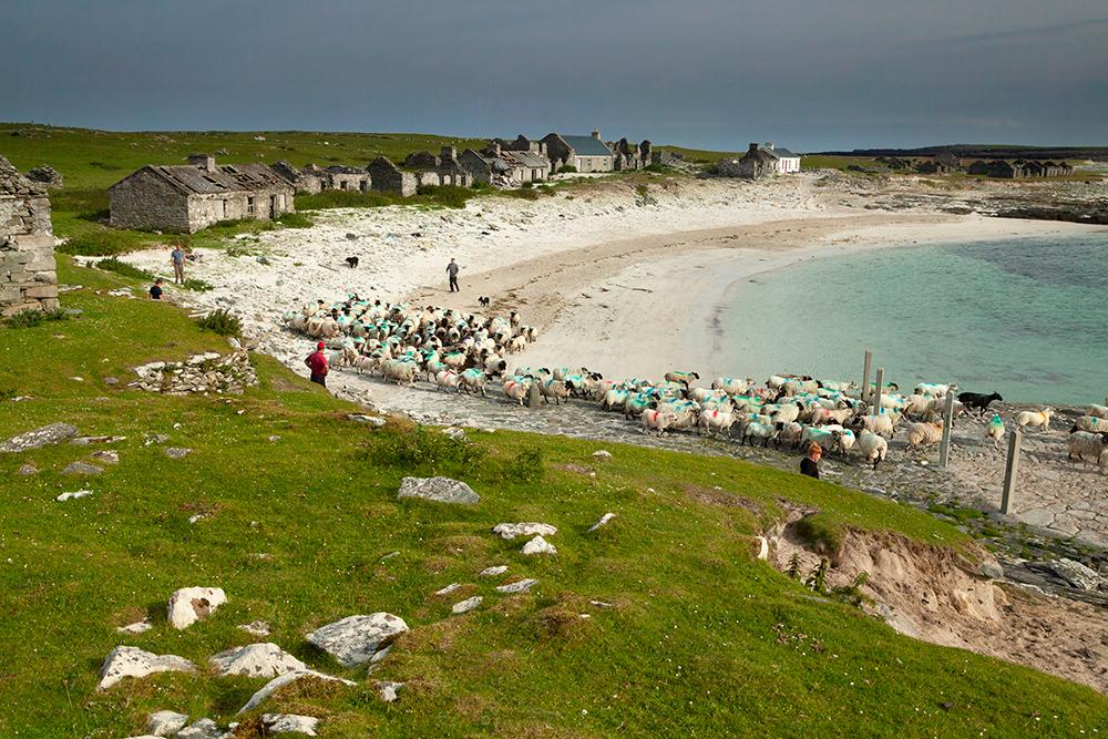 Herding sheep on Inishkea South