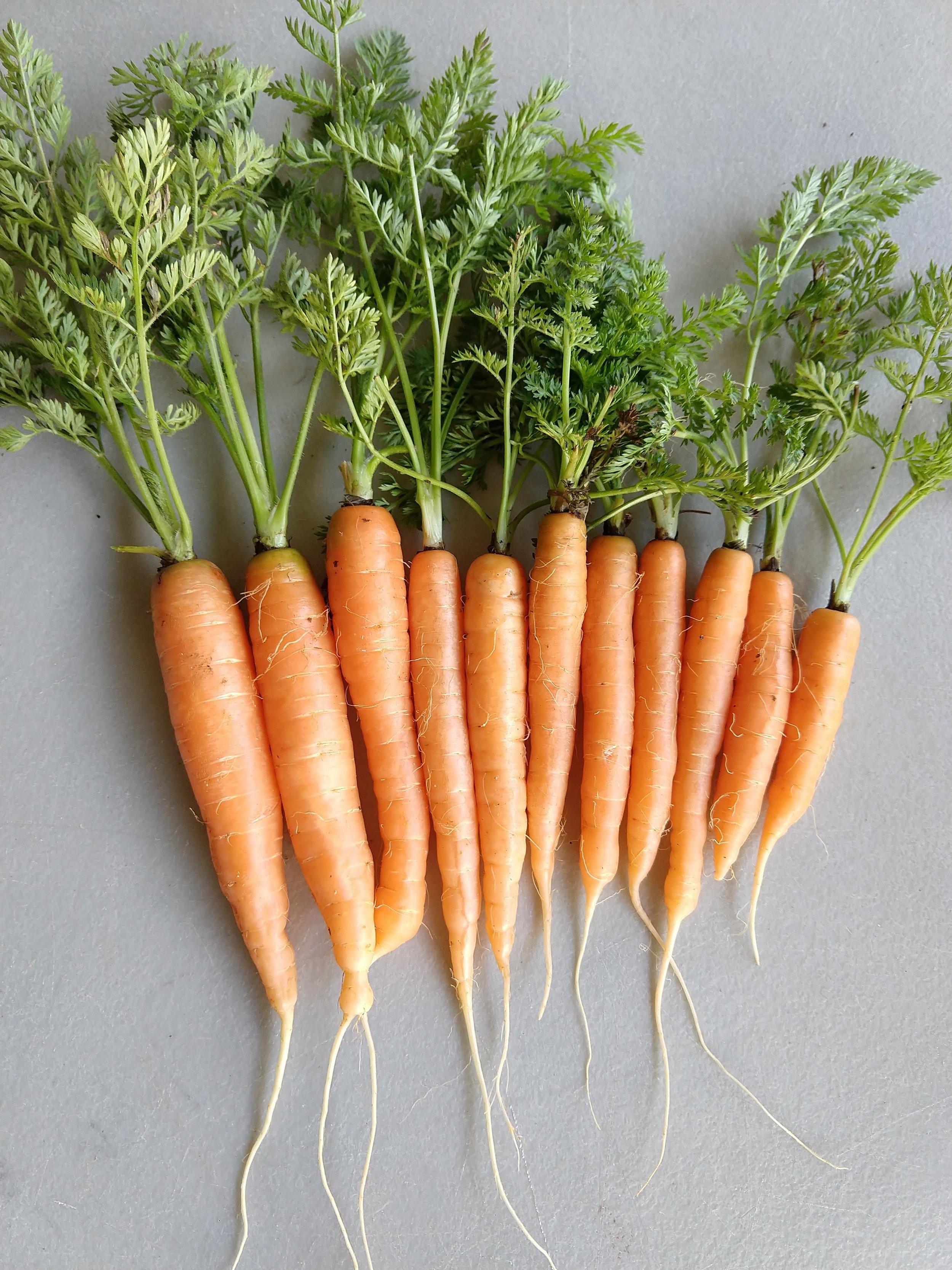 Larry Heidkamp - Carrot - Orange - Baby 5.jpg