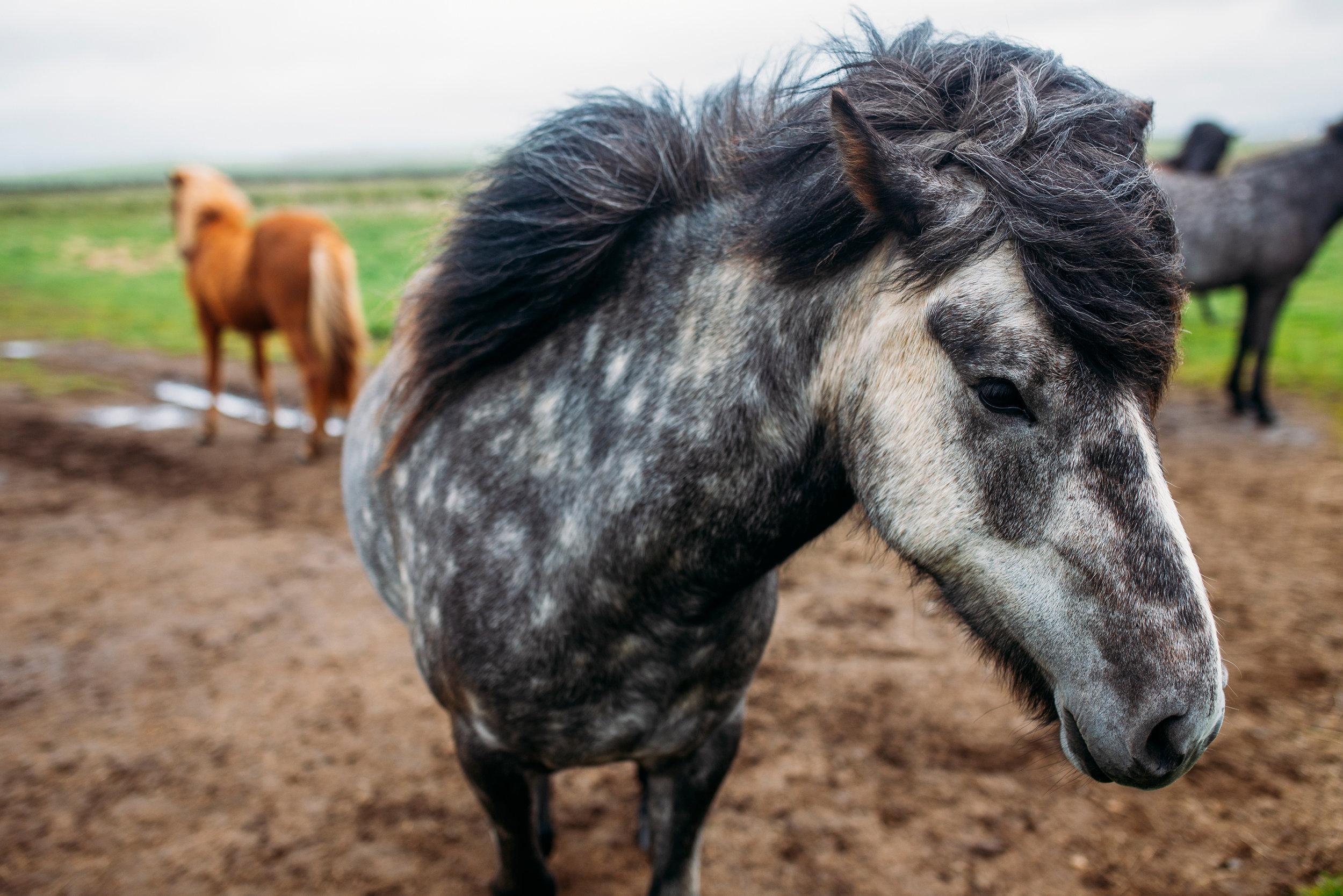 icelandic-horse-1.jpg