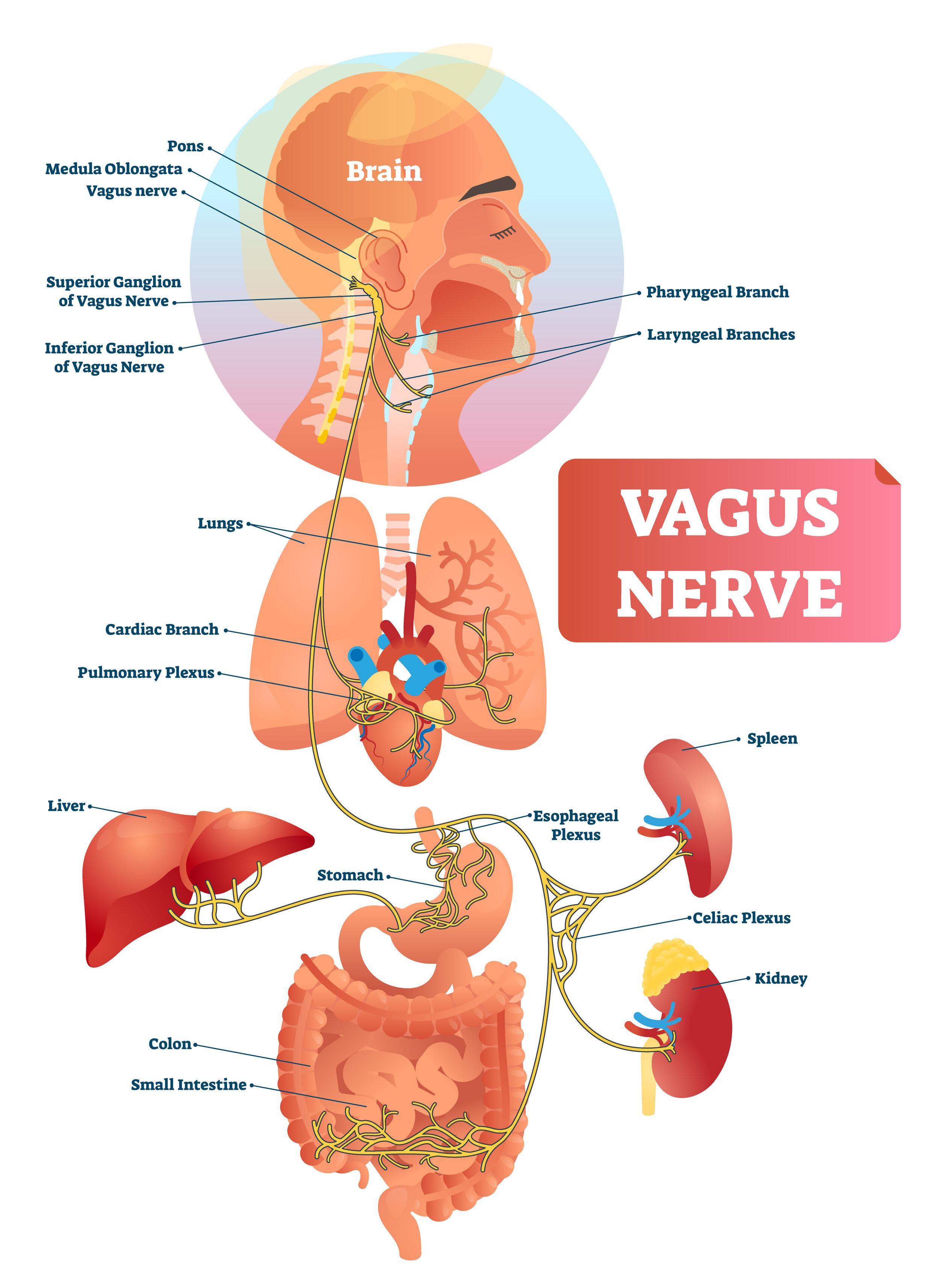Cos è il nervo vago?