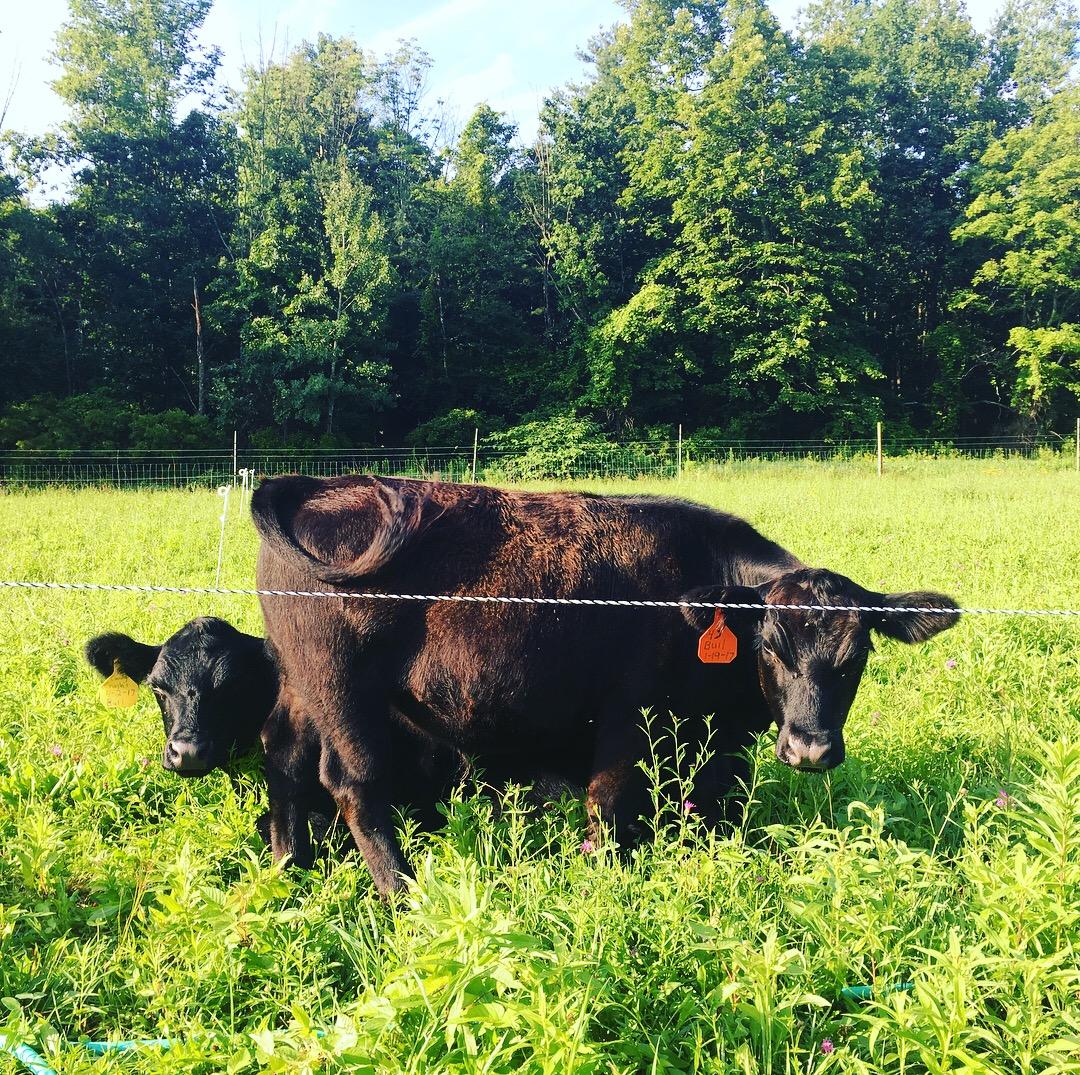 Lowline Angus steers