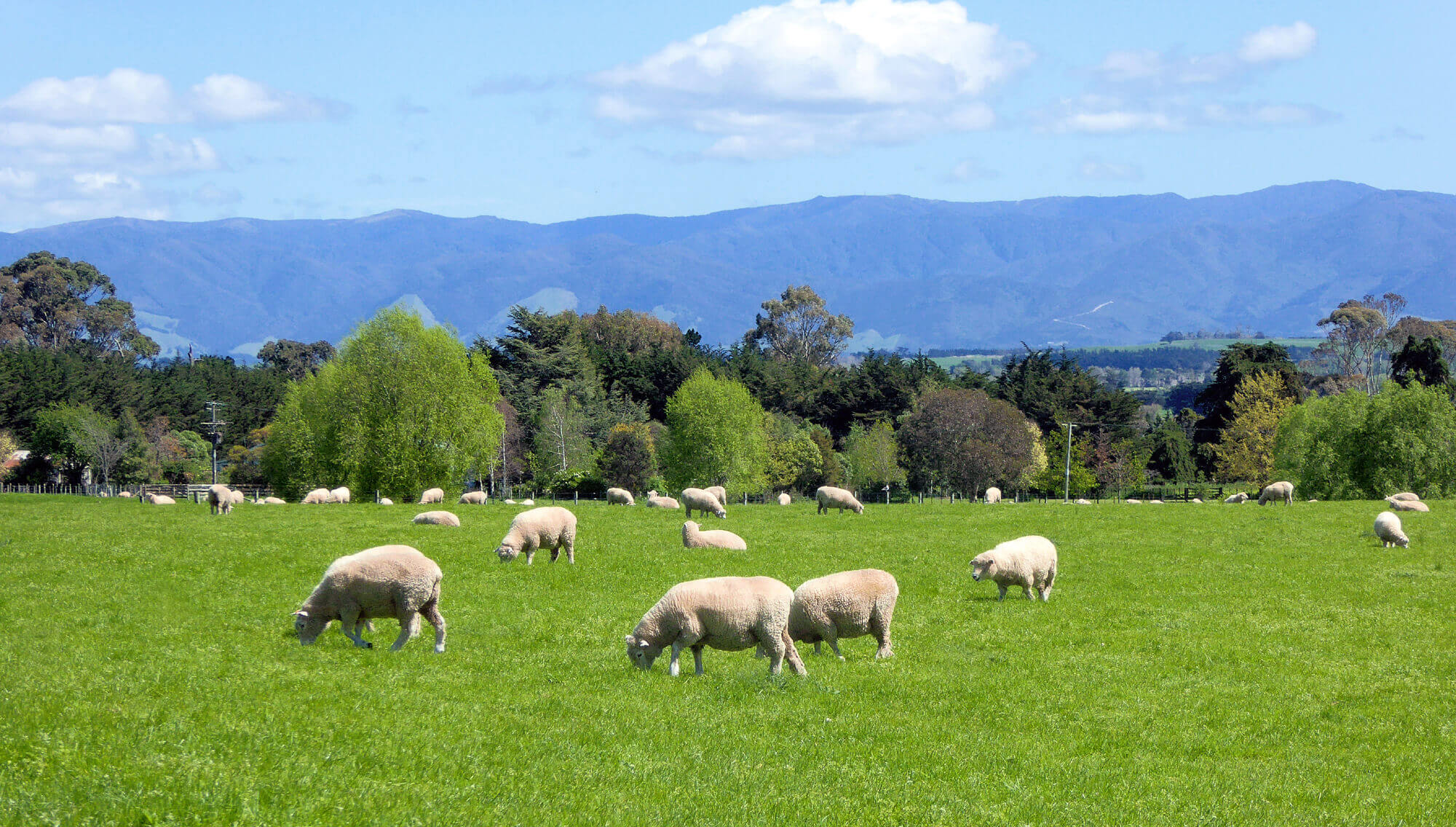 Recently shorn Romney sheep grazing peacefully on a farm south of Martinborough, South Wairarapa. New Zealand's first sheep run was established at nearby Wharekaka, in May 1844.