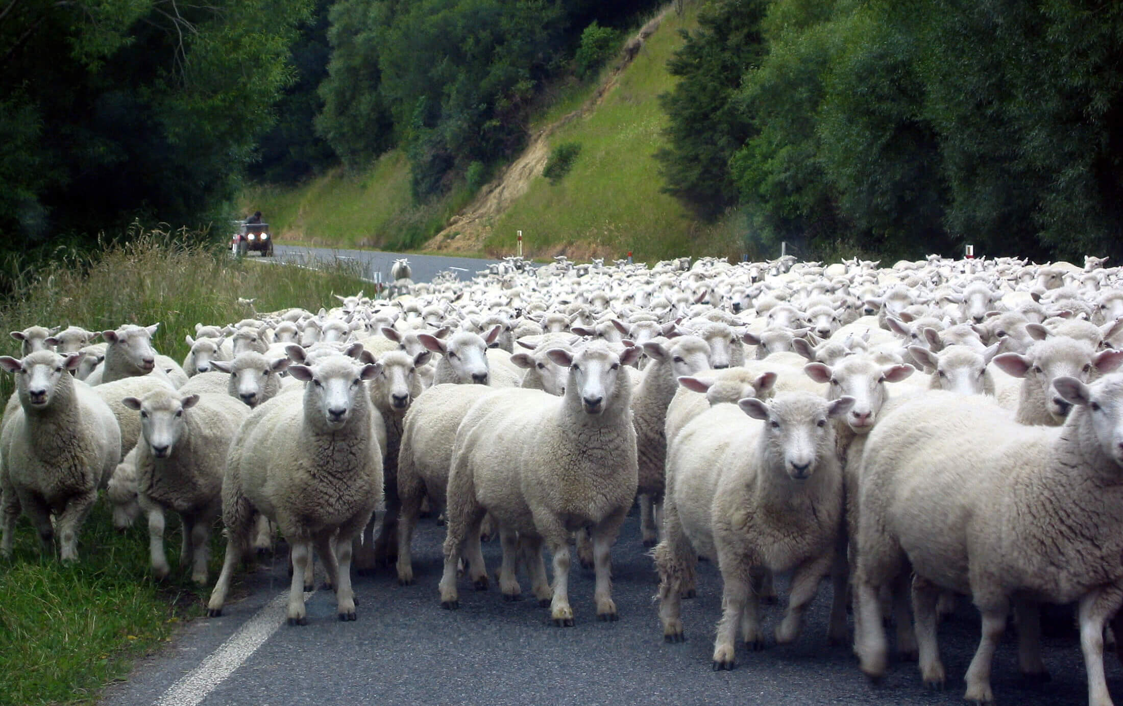 Sheep on the road to Tora, South Wairarapa.