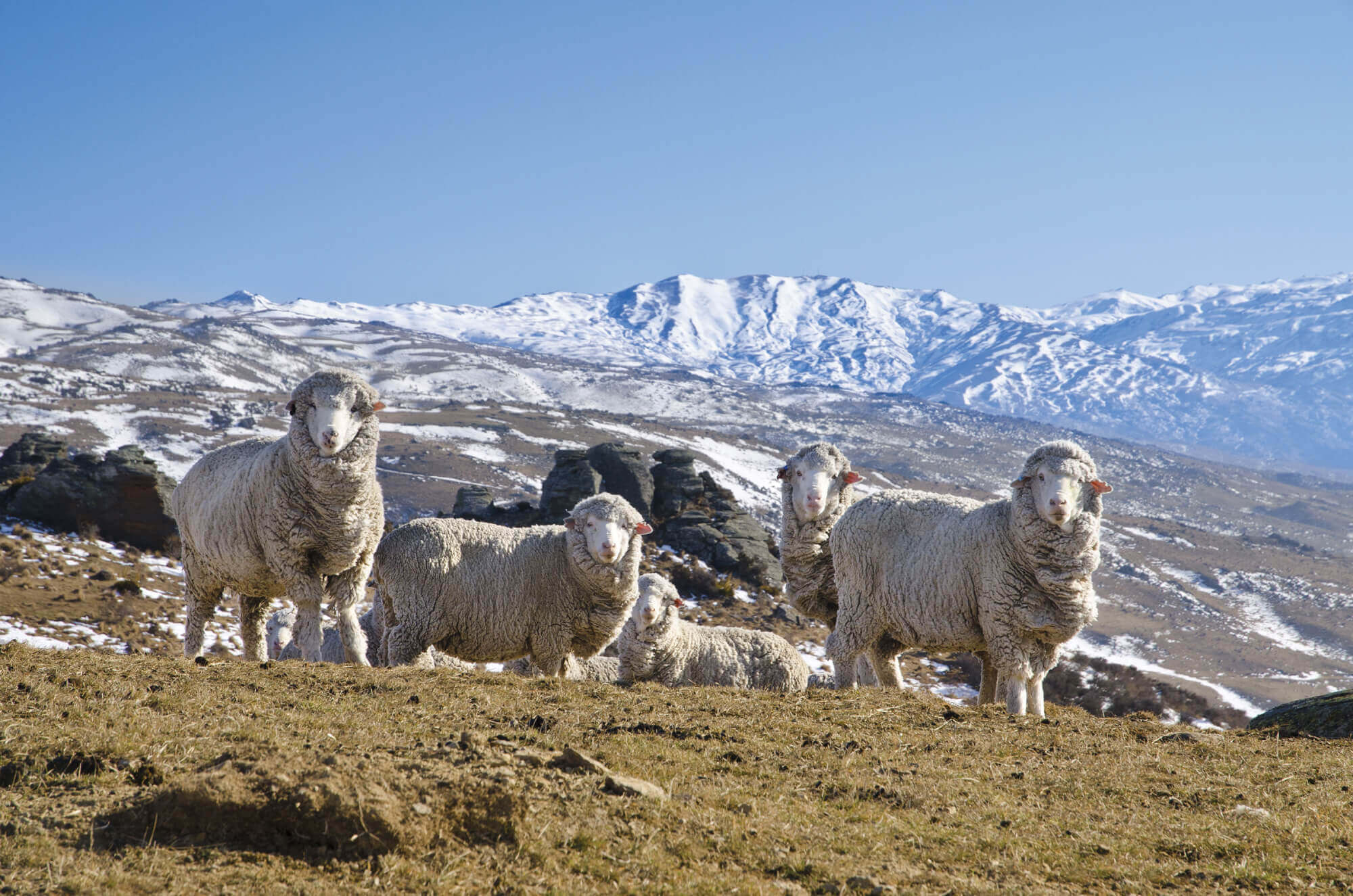 Merino ewes at Duffers Pass, Central Otago. Unlike crossbred sheep, merinos thrive in the high country, particularly in the South Island of New Zealand.