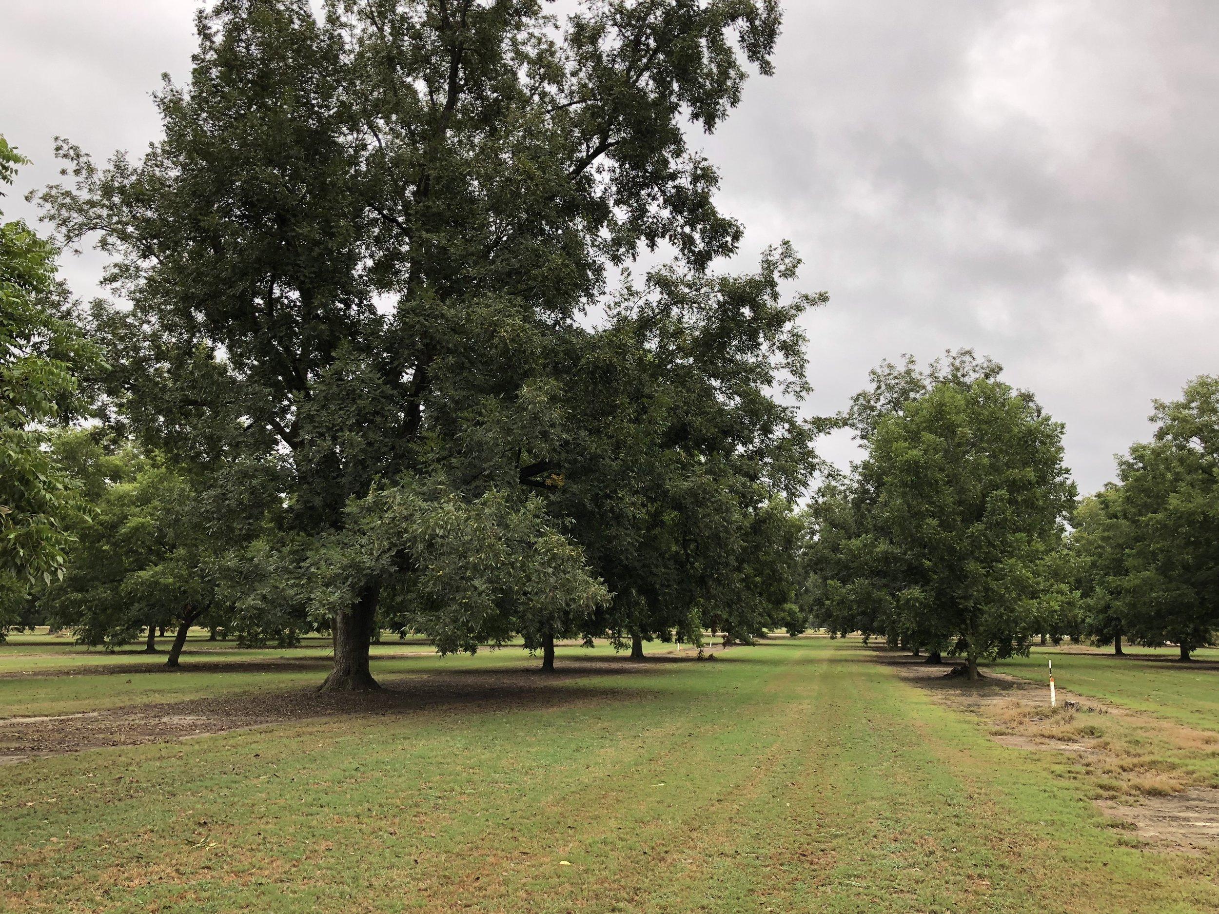 Goodson Pecans Pecan Grove Trees