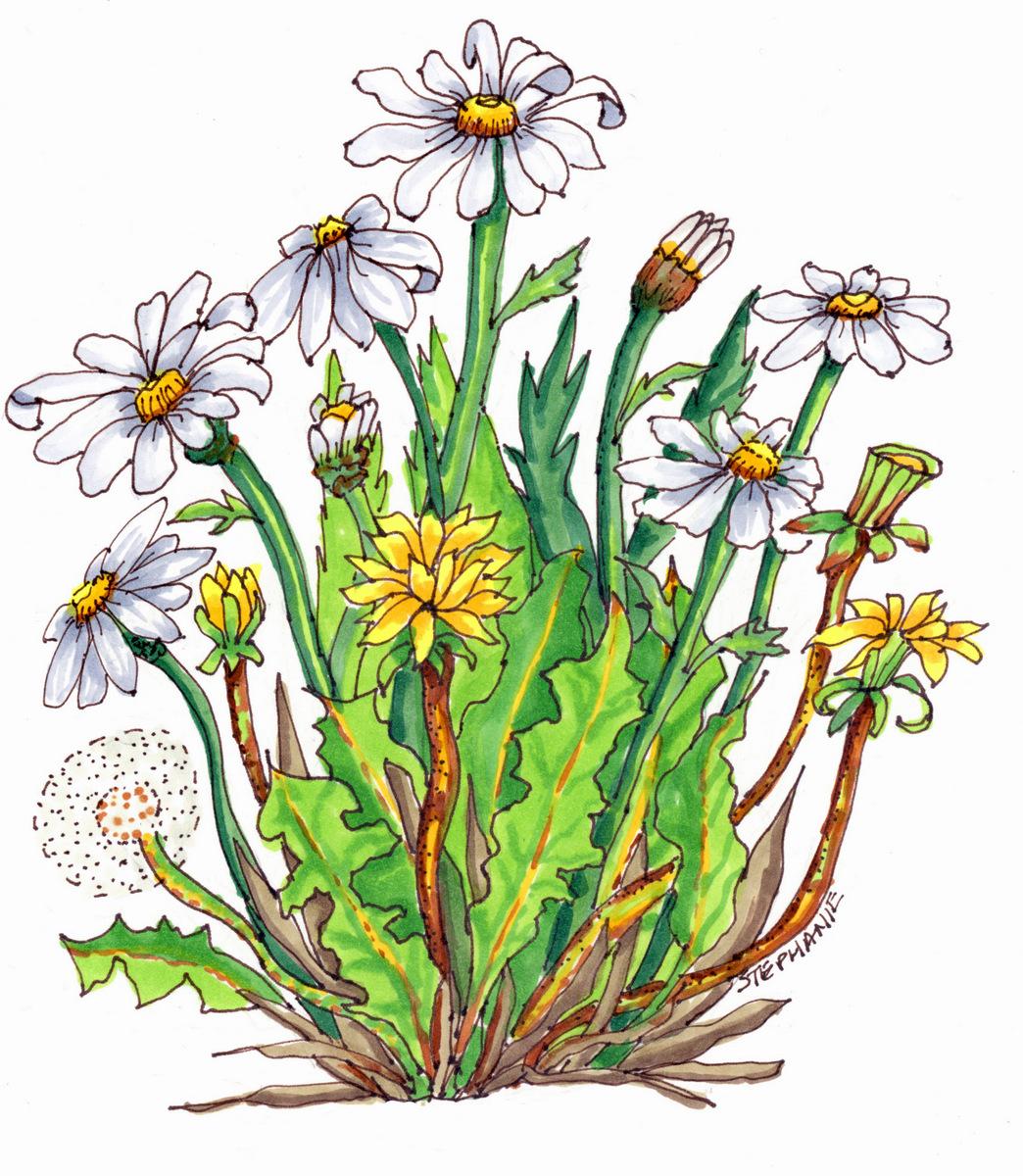 06-Nature Illustration, Stephanie Sipp, Flowers-006.jpg