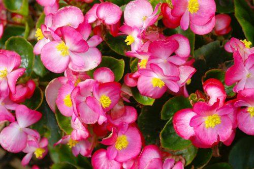 begonias-istock-500x332.jpg