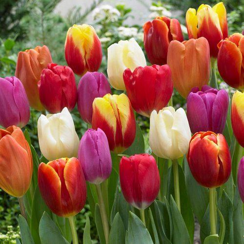tulips-500x500.jpg