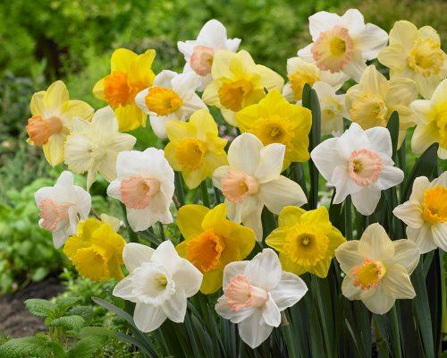 Narcissus-trumpet-mix-500x400.jpg
