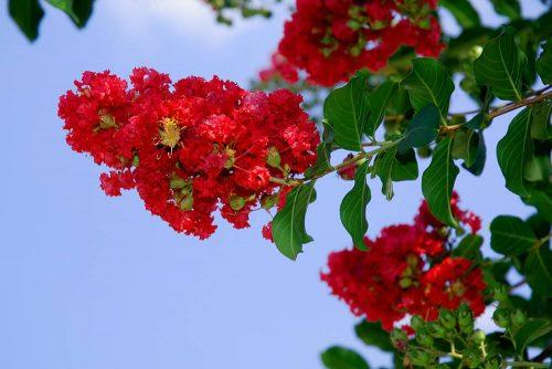 crape-myrtle-red-500x334.jpg