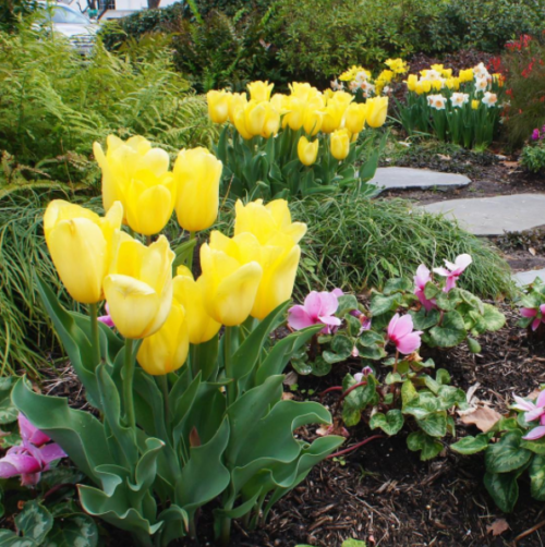 Tulips maintained by Lanson B. Jones & Co.