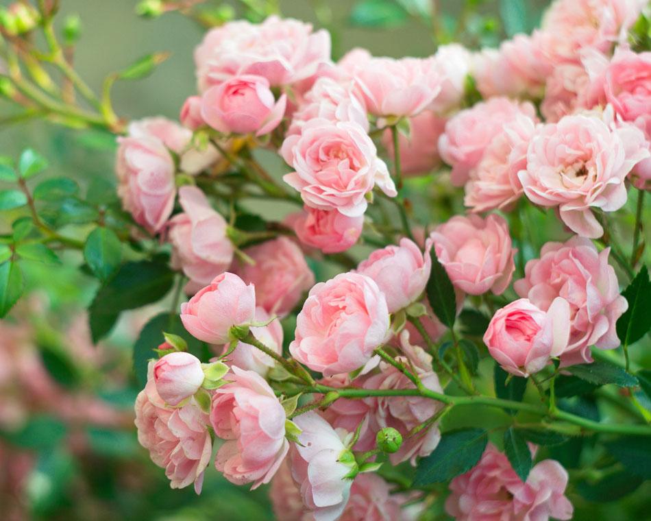 Rose Fertilizer by Lanson B. Jones & Co.