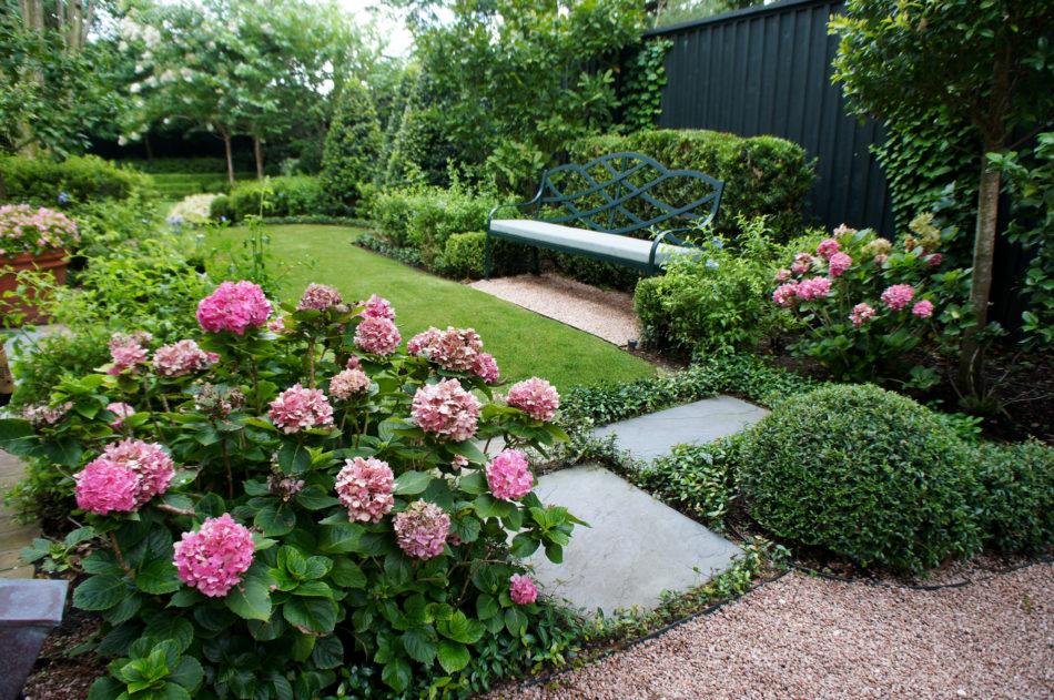 Pink Hydrangeas in full bloom.