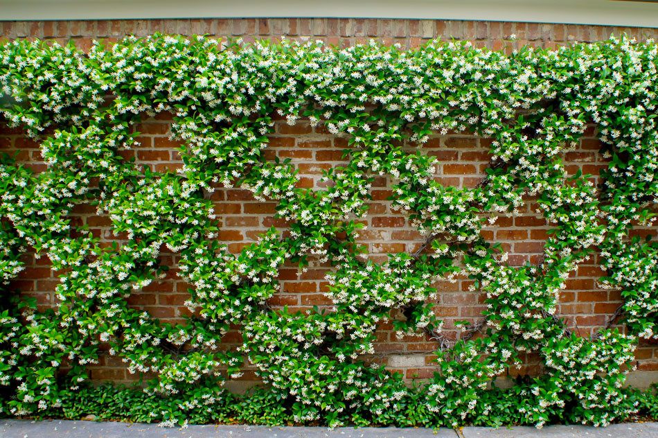 Trellised confederate jasmine lines the brick wall leading to the garage.