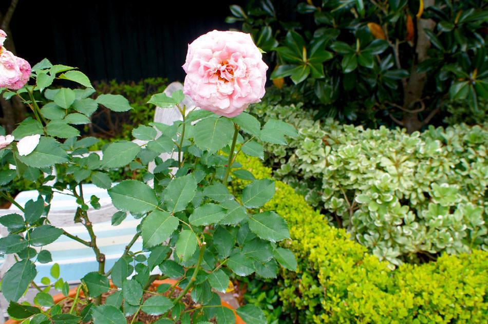 Close up of antique rose.