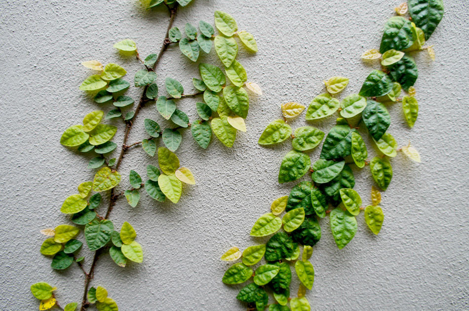 Close up of fig ivy.