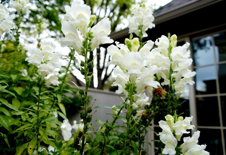 White snapdragons in full bloom.