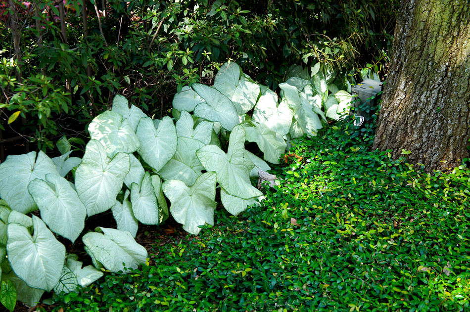 English ivy covers oak tree roots and is framed by white caladiums.