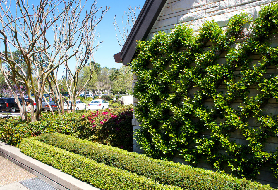 Confederate Jasmine climbs a diamond trellis while two rows of pruned boxwood hedges line the walk.