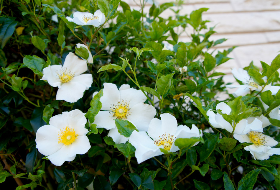 Close up of the Cherokee Climbing Rose