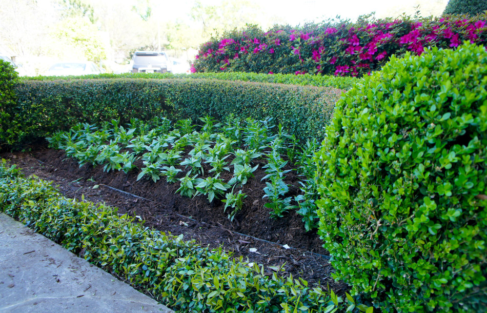 Freshly planted spring color bed framed by sharply trimmed boxwood hedges. The color will take a couple weeks to fully flush.
