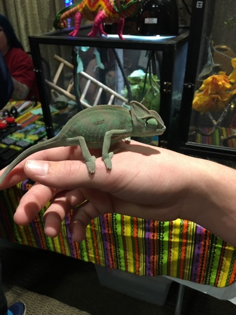 Chameleon at St. Louis Reptile Show